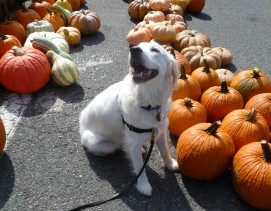 Sylvie and pumpkins